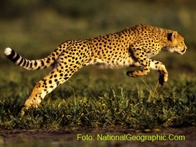 Gambar foto cheetah 400x300 (Photograph by Chris Johns)